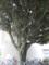 もう一本の椎の木