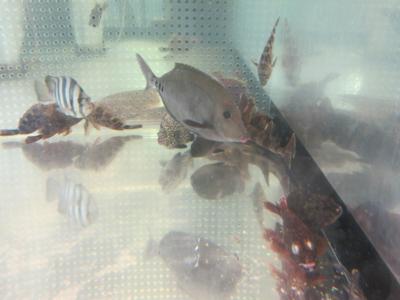 いけすの魚