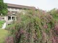 満開の萩と東博本館