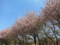マラソン道路の八重桜