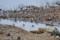 浅瀬で待機中のセイタカシギたち2