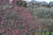 梅林園の梅1