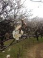 iPhone5で撮影した梅