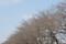 ハミングロードのソメイヨシノ