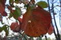 溜池山王の街路樹の紅葉