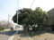 御成街道の椎木