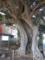 椎ノ木の古木
