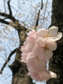 有楽町の桜
