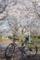 桜とアピ夫1