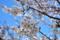 実籾本郷公園の桜