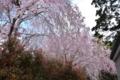 成田山の枝垂れ桜