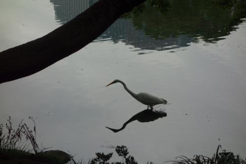日比谷公園の白鷺