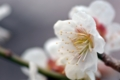 白梅をマクロ撮影