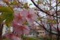 ショッピング前の桜