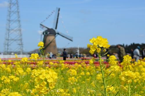 菜の花と風車