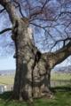 高瀬の大木2