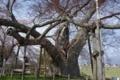 高瀬の大木1