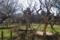 最近移植された梅木