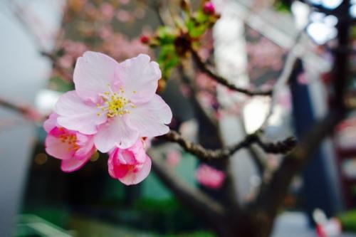 東京スクエアガーデンの河津桜