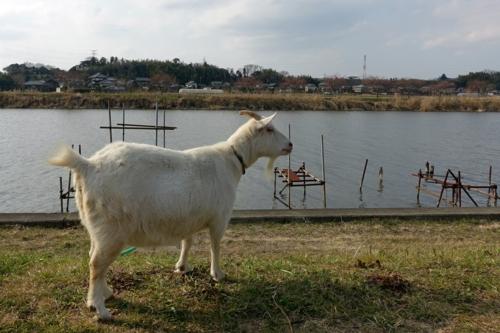 新川のヤギ1