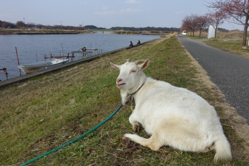 新川のヤギ2