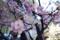 今週の東京スクエアの河津桜