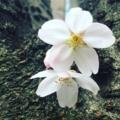 職場近くの公園の桜