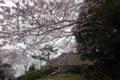 森林公園の古民家と桜