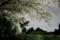 昨夜撮影した森林公園の夜桜