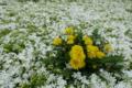白い芝桜とタンポポ