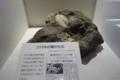 ツバキの葉の化石