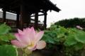 鐘楼と蓮の花