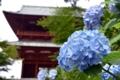 大門と紫陽花
