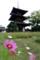 日本最古の三重塔とコスモス