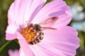 三陽メディアフラワーミュージアムのコスモスとミツバチ