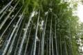 青蓮院の竹林