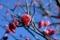 習志野梅林園の紅梅