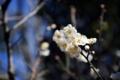 習志野梅林園の梅
