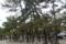 境内の松林