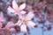 銀座の河津桜