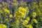 かっぱ公園の菜の花