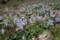 清水谷公園のスミレの群生