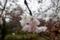 清水谷公園の雨のソメイヨシノ