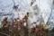 清水谷公園の雨上がりのソメイヨシノ