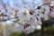 今朝の清水谷公園のソメイヨシノ