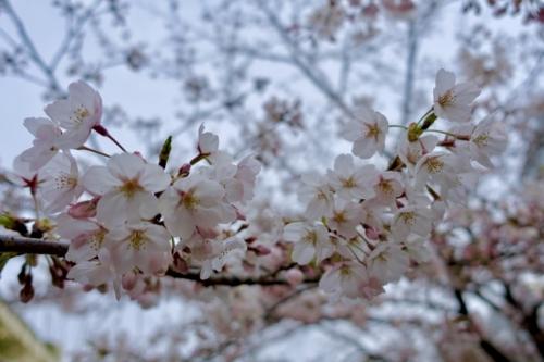 本日の清水谷公園のソメイヨシノ