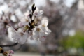 津田沼の桜