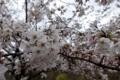 今朝の清水谷公園の桜