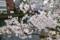 茅場町の桜
