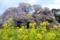 吉高の大桜と菜の花